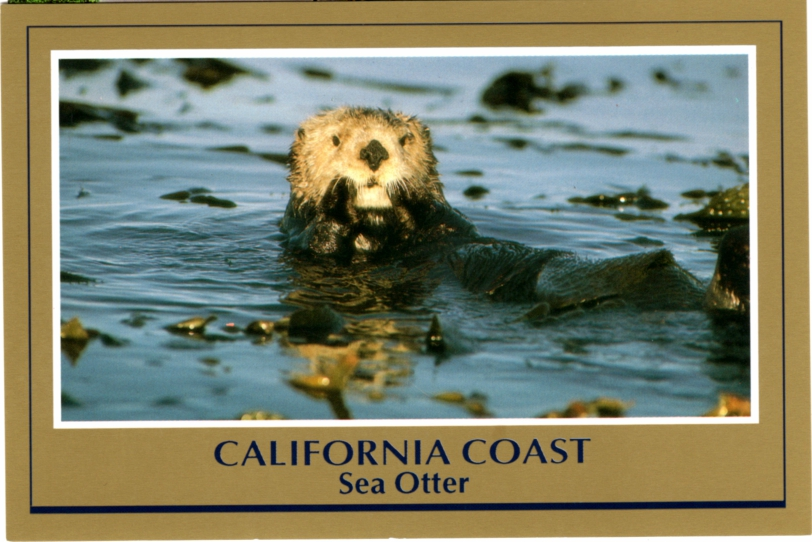 Postcard A Sea Otter California Coast