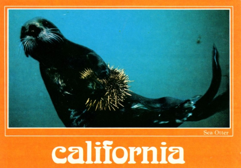 postcard California Sea Otter